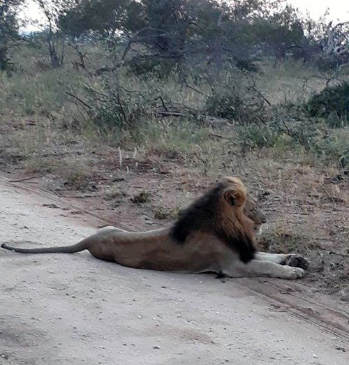 Male lion on the road.