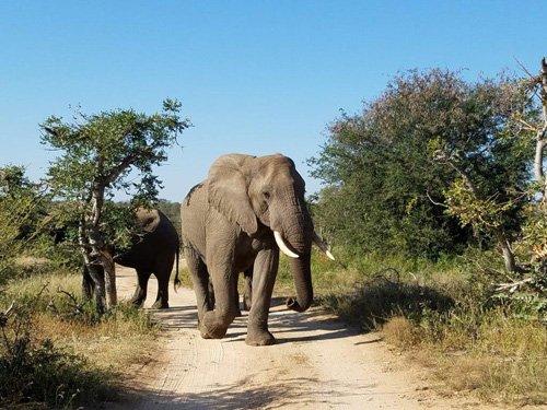 Good shot of elephants