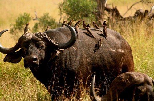 Good shot of Buffalo bull