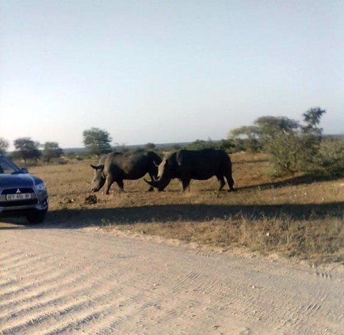 Rare photo of White Rhino