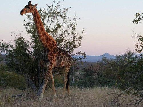 Good sighting of Giraffe on Bush walk