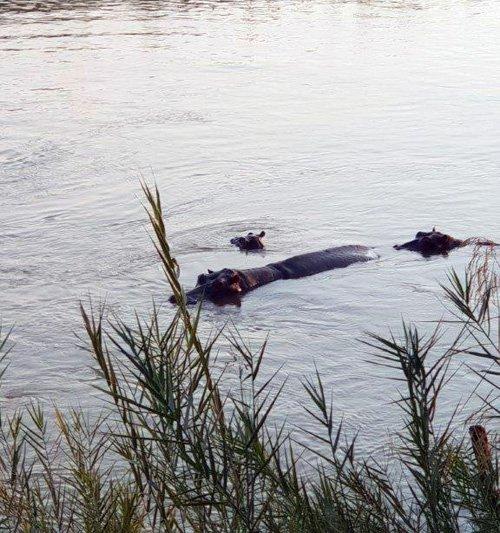 Hippo family in Olifants River