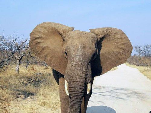 Elephant right at Tremisana Lodge.