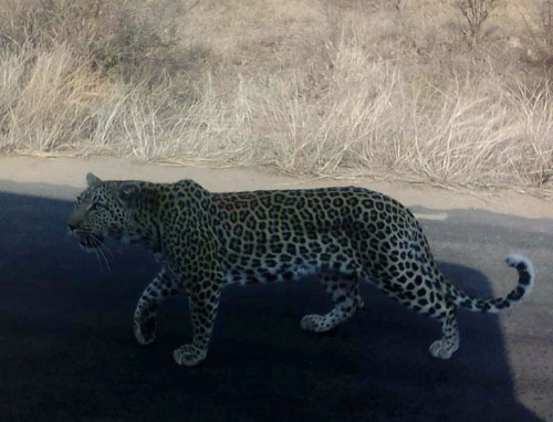 Young female leopard using our vehicle to get close to Steenbok.