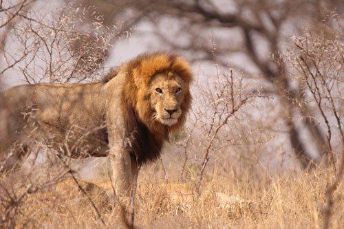 Male lion near Satara.