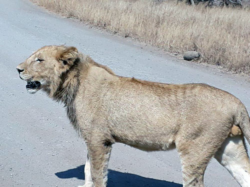 Young Lion near Ngotso.