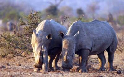 Great shot of White Rhinos.