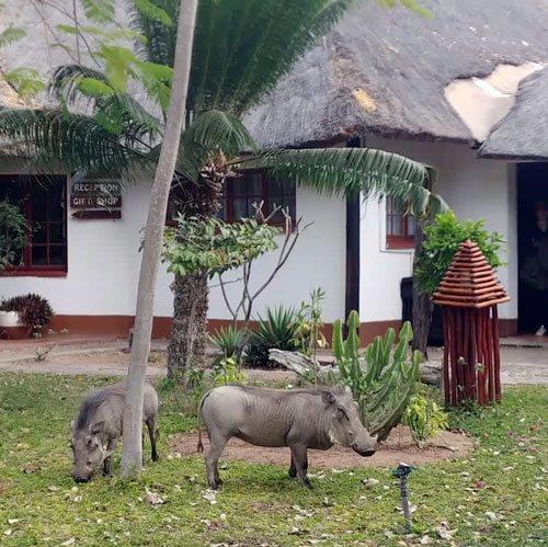 Warthogs eating green grass at Tremisana Lodge.