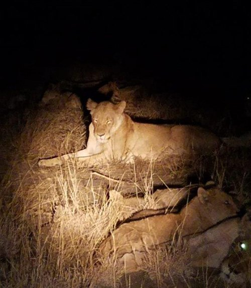 Lions at night.