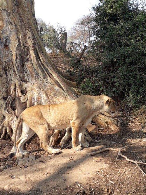 Good shot of lioness.
