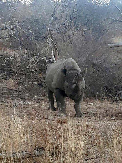 Excellent Black Rhino photo.