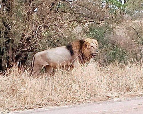 Lion on road.