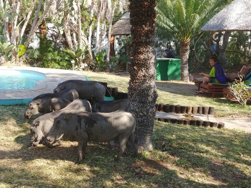 Warthogs at pool area of Tremisana.