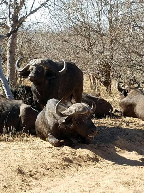 Buffalo sighting near Marula Boma.