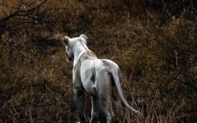 White lion near Satara.
