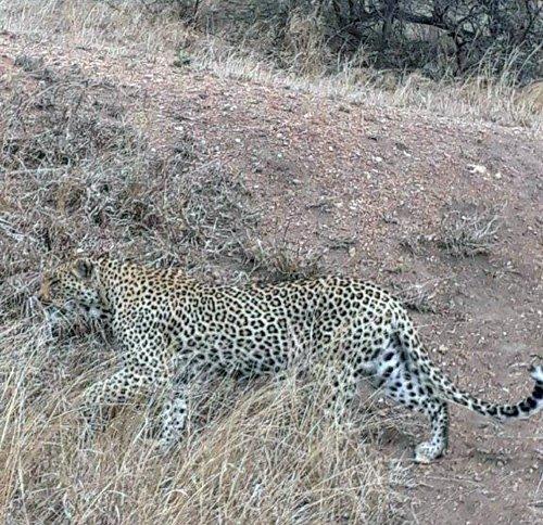 Leopard near Ngotso.