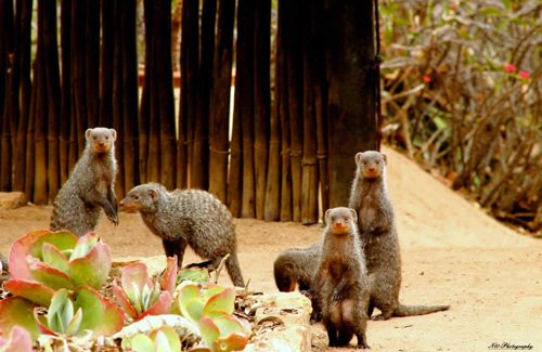 Banded Mongooses at Reception area of Marc's.