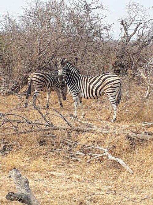 Zebras at Marula Boma.