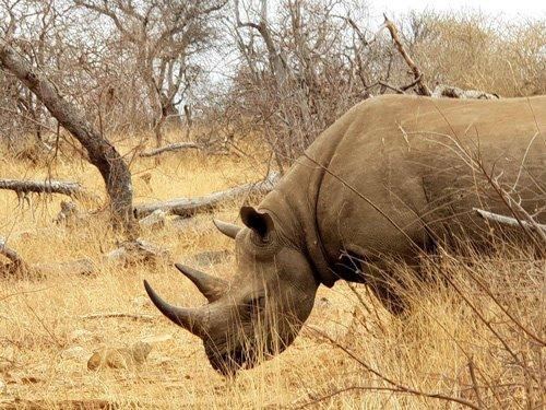 Black Rhino really close.