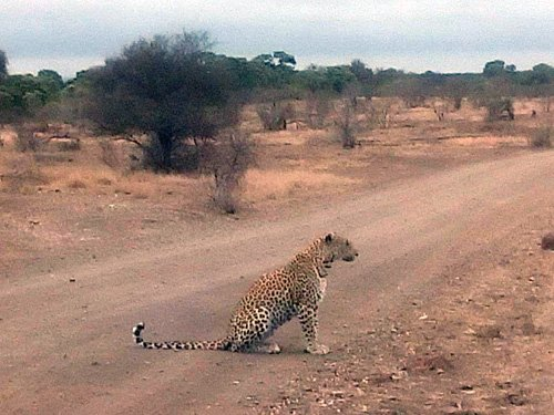 Leopard on road at Nsemane Dam.