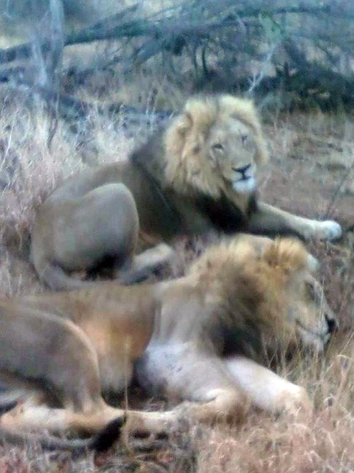 Male lions near the open vehicle.