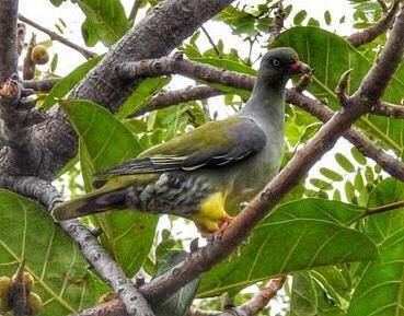 Green Pigeon feeding on Fig Tree fruits at Tremisana.