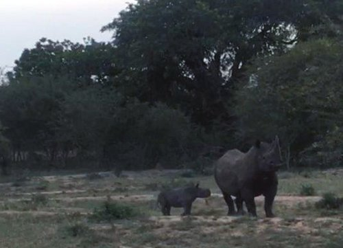 Black Rhino with month-old calf