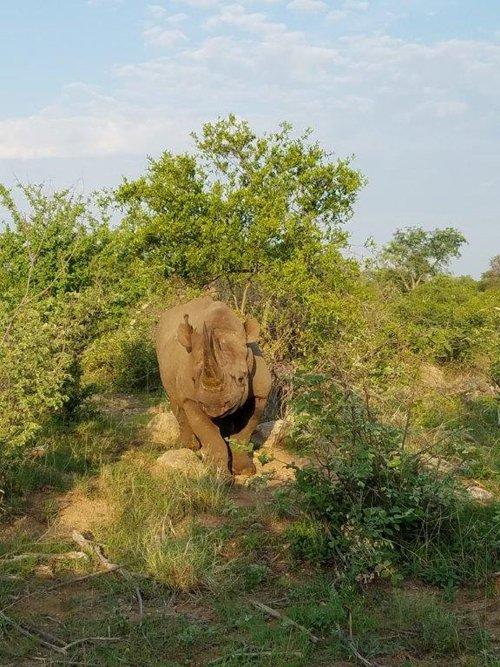 Close up viewing of Black Rhino