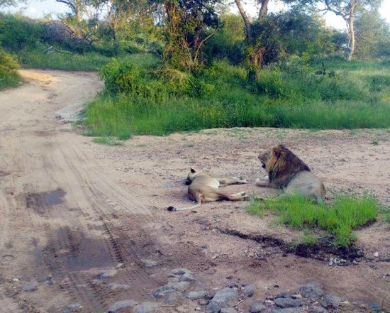 Lion pair near Marula Boma.