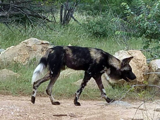 Wild Dog near Tremisana Lodge.