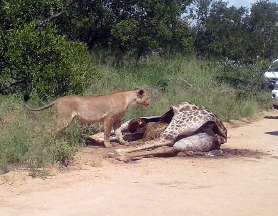 Lioness with giraffe kill on the road.