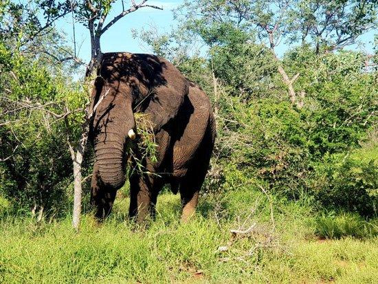 Big Tusker under a big tree.