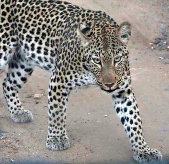 Young female leopard seen at Marc's.