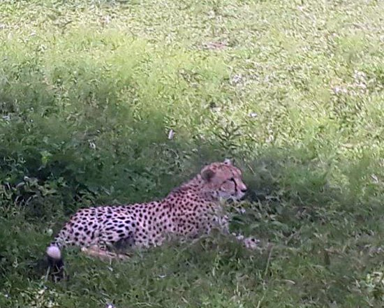 Cheetah near the road.