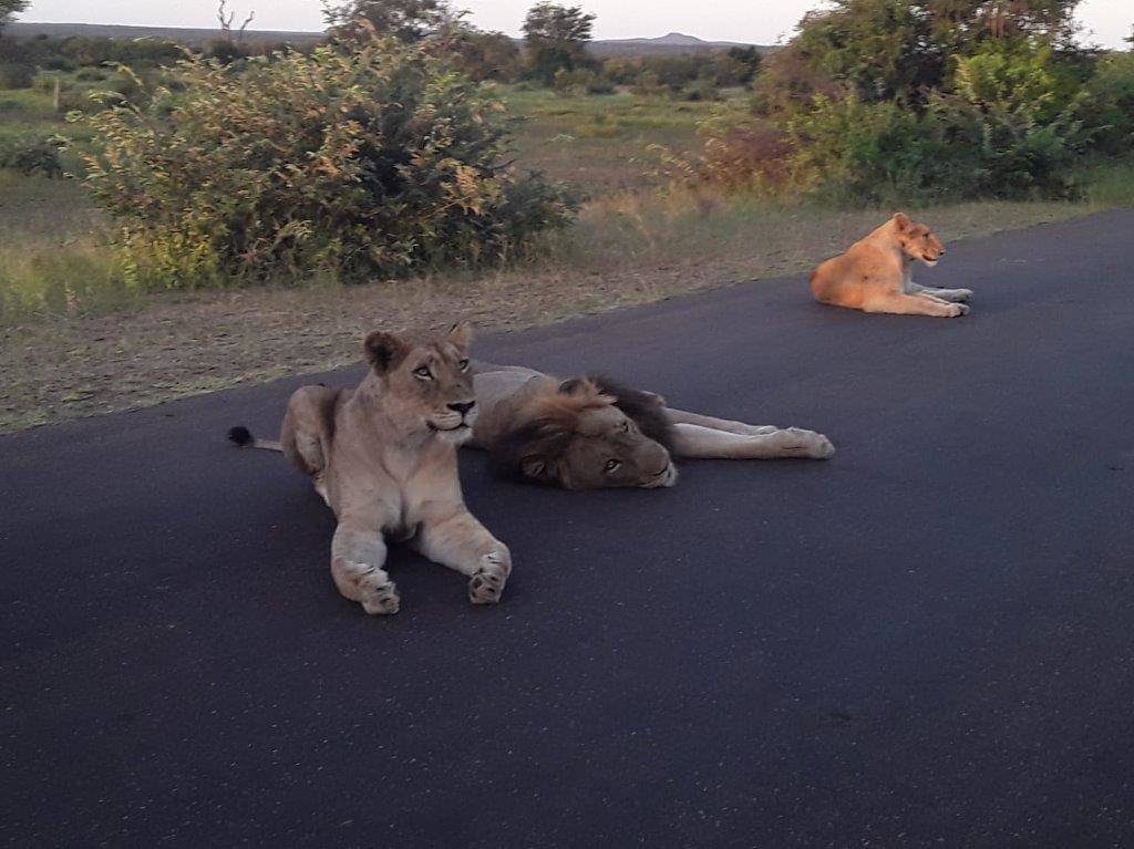 Great shot of lion and lionesses on the road