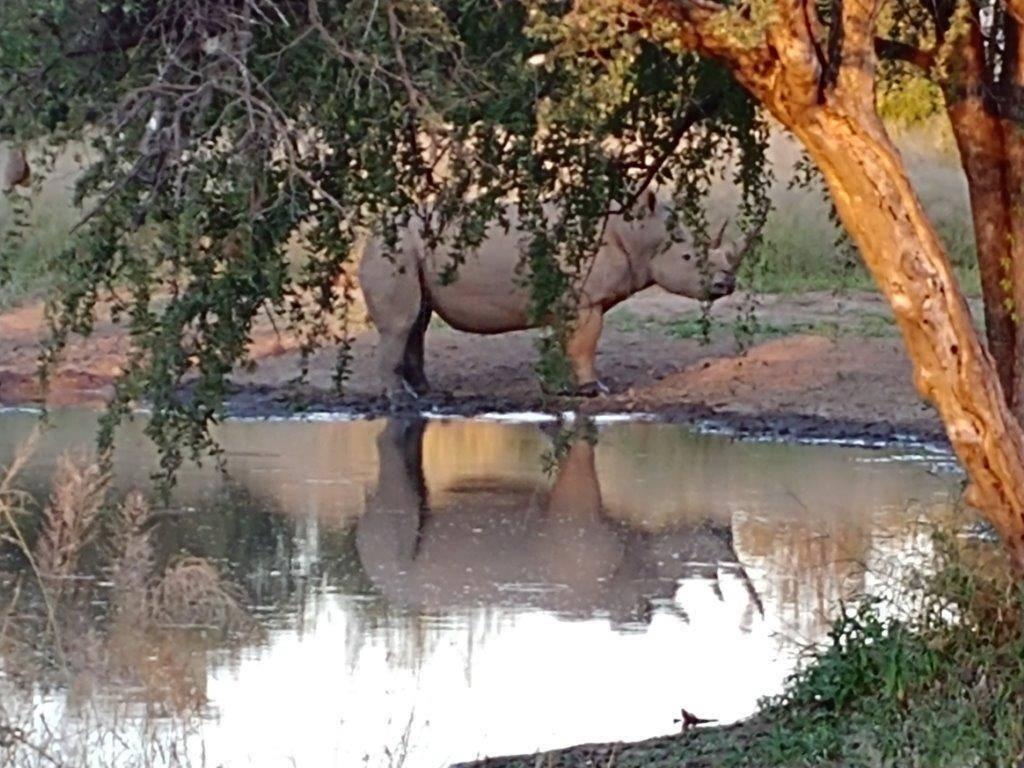 White Rhino drinking at dusk