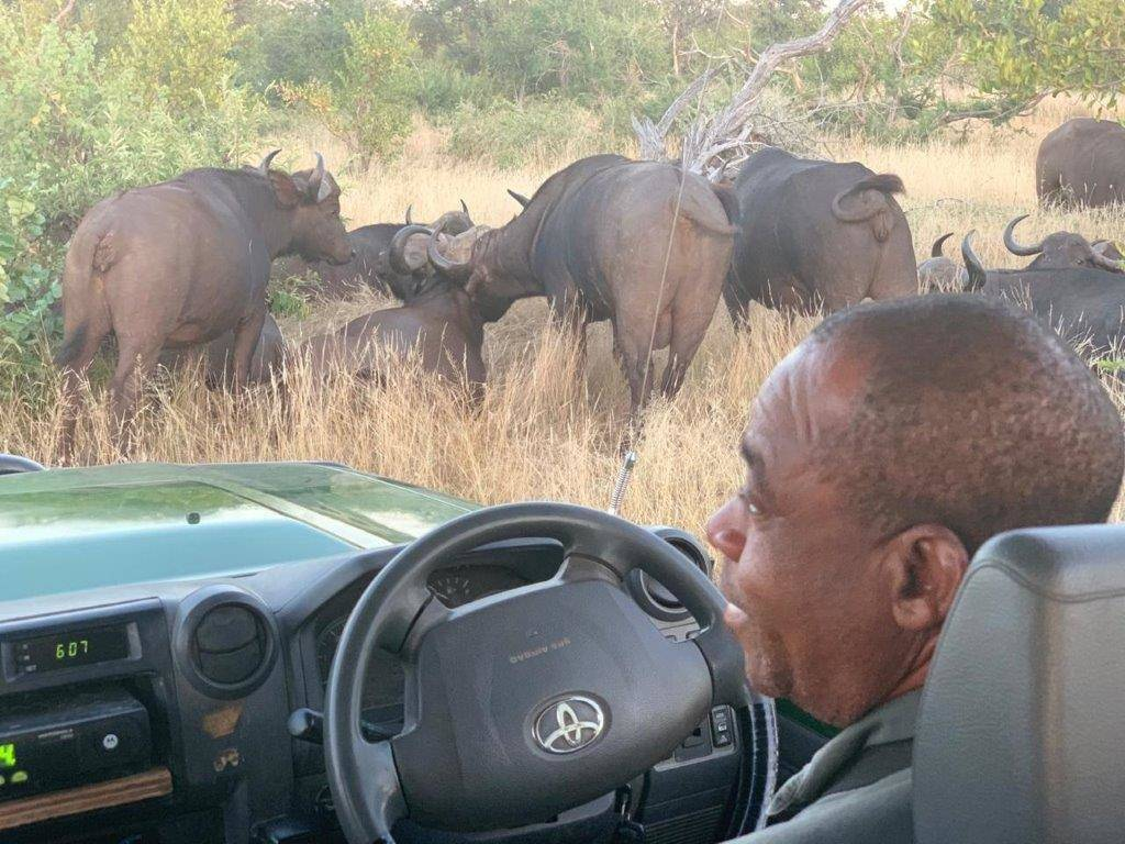 Rex and buffalo herd at Tremisana Lodge
