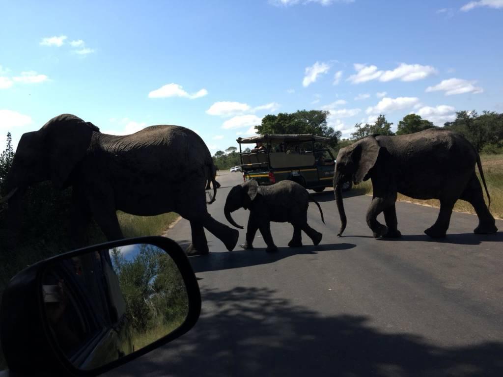 Elephants crossing the road between Viva Safaris vehicles