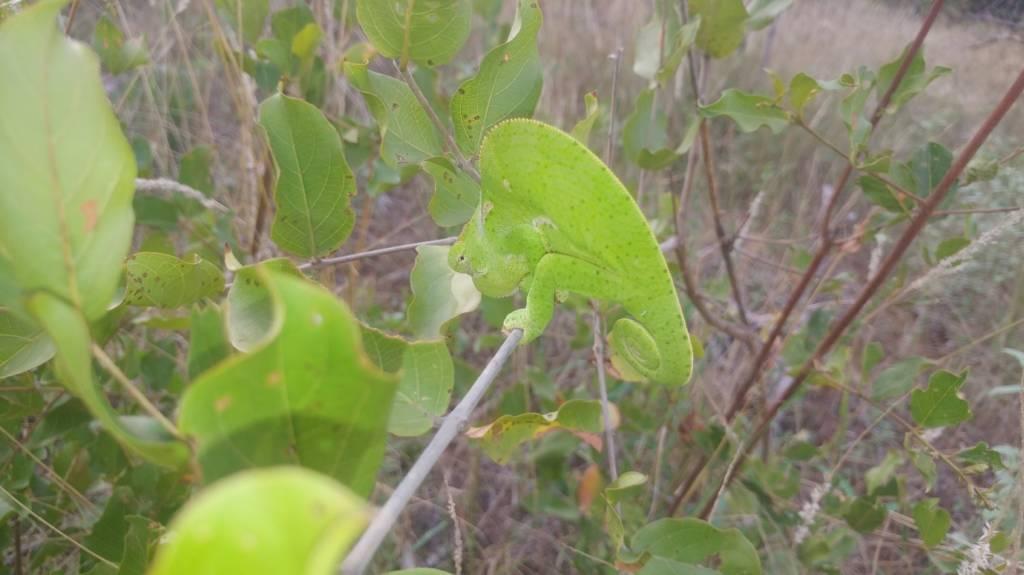 Flap-necked Chameleon near Marula Boma