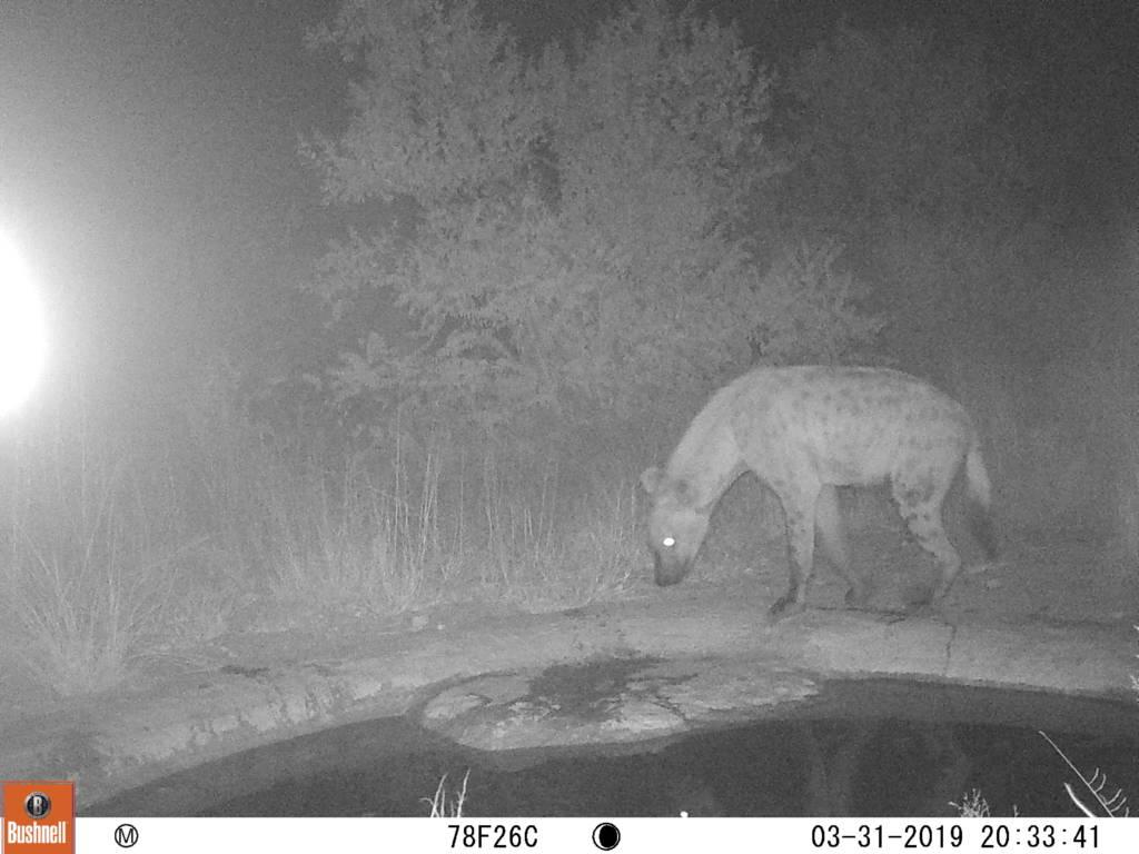 Camera trap shot of hyena