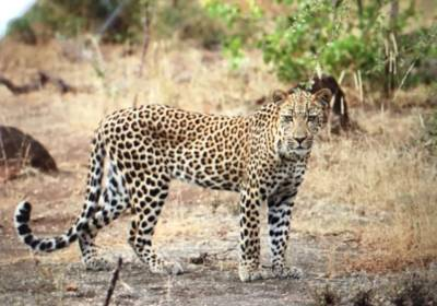 Great leopard sighting