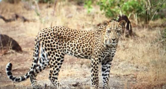 Great leopard sighting