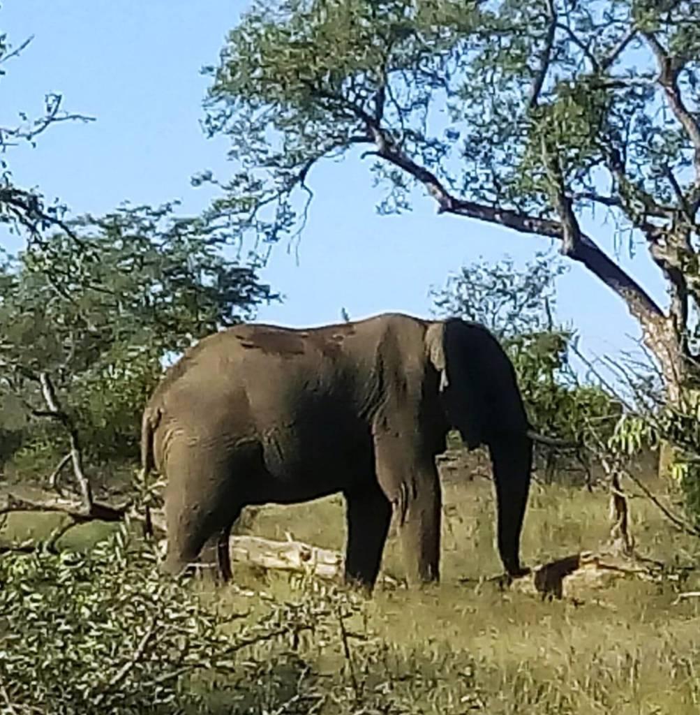 Elephant at Marula Boma