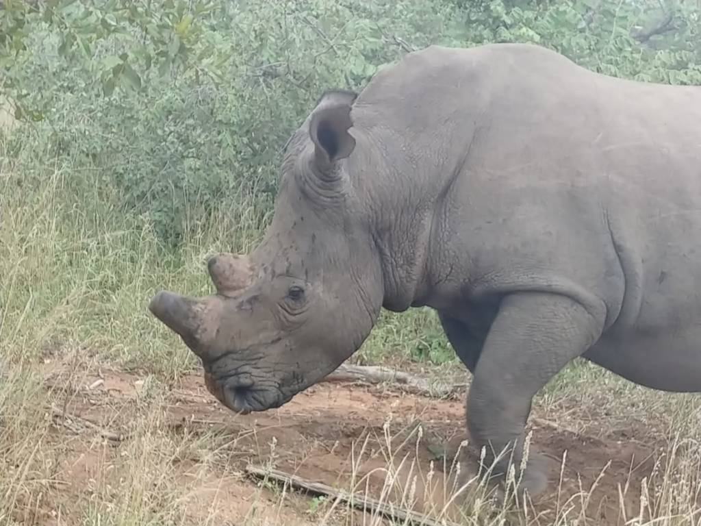 White Rhino at Tshukudu
