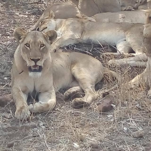 Lions resting at midday