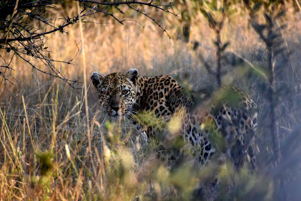 Great photo of a leopard by guest Taylor Smith