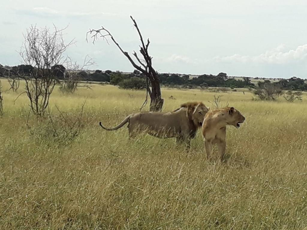 Lions on African savannah