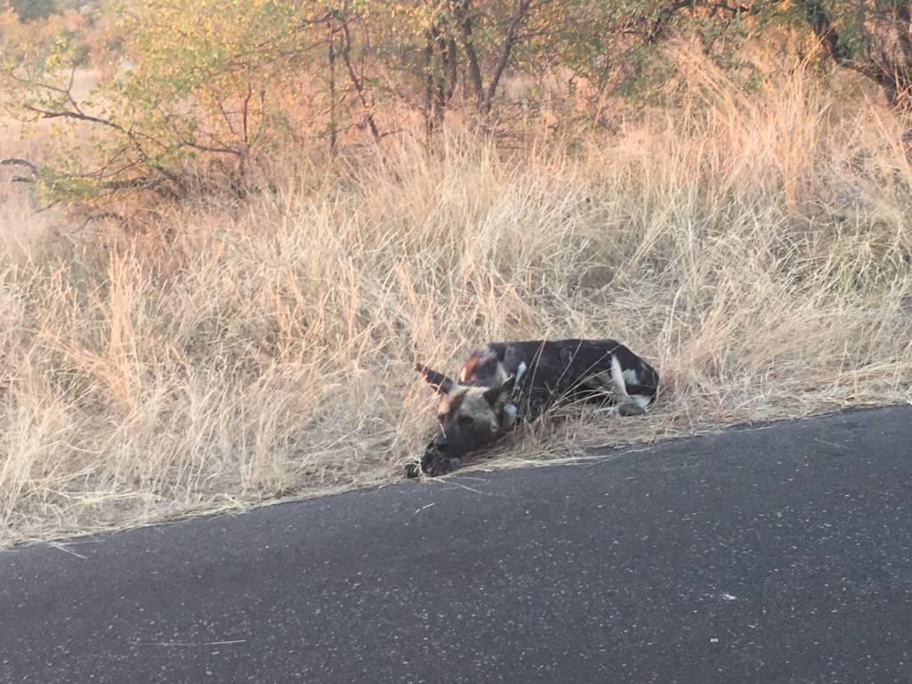 Wild Dog on tar road