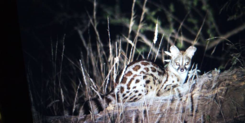 Small-Spotted Genet seen on night drive