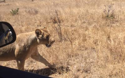 Lioness within touching distance of our open vehicle